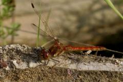 Vážka-žíhaná-Sympetrum-striolatum1409192020