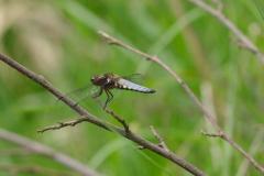 Vážka ploská (Libellula depressa)180502 6409