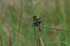Vážka ploská (Libellula depressa)180519 8170