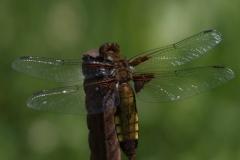 Vážka-ploská-samice-Libellula-depressa1507015389