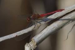Vážka-rudá-Sympetrum-sanguineum150801-9569-Otinoves