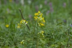Prvosenka-jarní-Primula-veris180415-5327