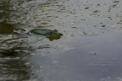 Skokan-zelený-Pelophylax-esculentus180609-9757