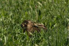 49. Zajíc polní (Lepus europaeus) 1506285276