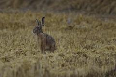 Zajíc-polní-Lepus-europaeus-160728-5815