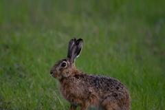 Zajíc-polní-Lepus-europaeus-19-3684