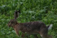 Zajíc-polní-Lepus-europaeus-190606-0602