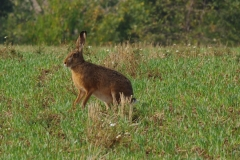 Zajíc-polní-Lepus-europaeus180902-8203a