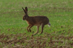 Zajíc-polní-Lepus-europaeus180902-8248a
