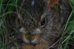 Zajíc-polní-Lepus-europaeus7456a