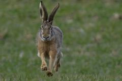 Zajíc-polní-Lepus-europaeus8552