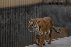 IGP_2010 Tygr sumaterský
