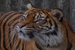 IGP_2014 Tygr sumaterský