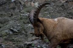 Kozorožec kavkazký