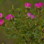 35.Sipkova ruze - Rosa cania 201406050075
