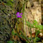 37. Kakost smrduty - Geranium robertianum L 201404276383