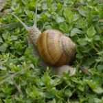 _Hlemyzd zahradni (Heli x pomatia)1407033328