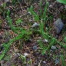 Plavuň vidlačka (Lycopodium clavatum)190703 7417aa