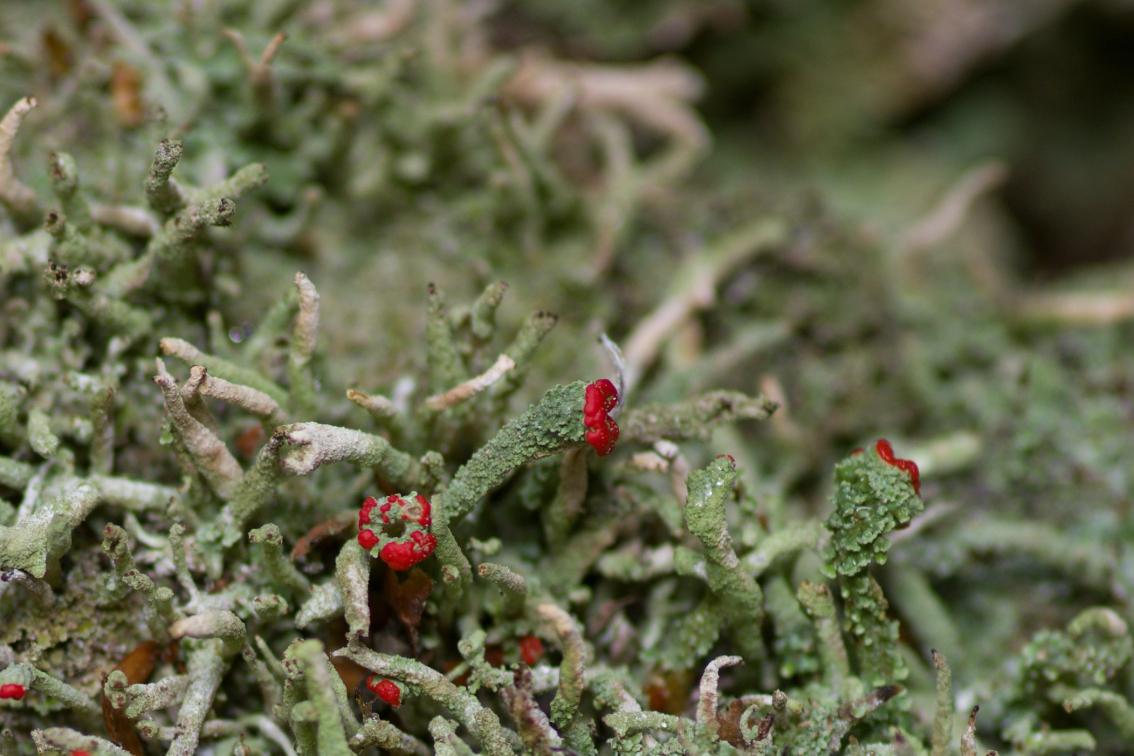 Dutohlávka červcová (Cladonia coccifera)201008 4543