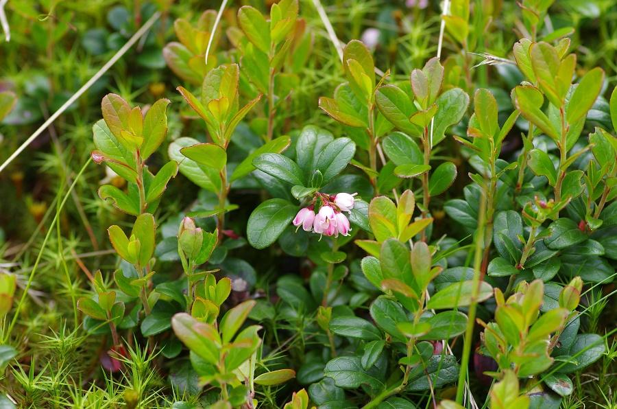 Brusnice brusinka (Vaccinium vitis-idaea L.)180610 0125