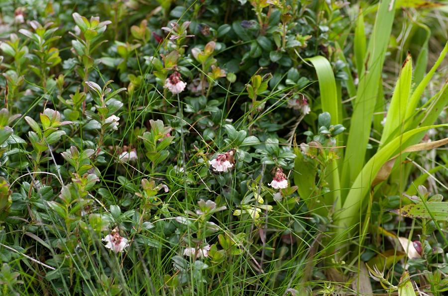 Brusnice brusinka (Vaccinium vitis-idaea L.)180610 0129