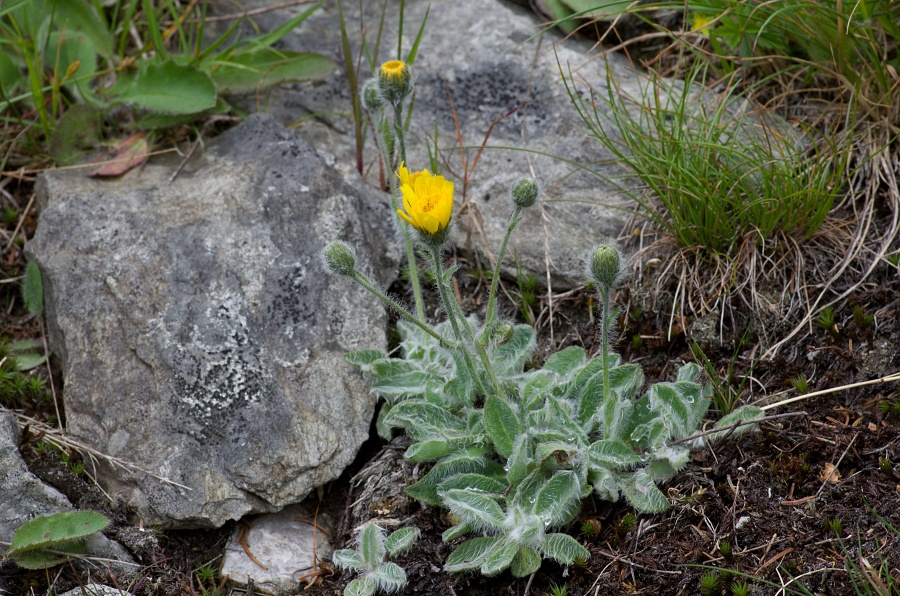 Jestřábník huňatý (Hieracium lanatum)180610 0078