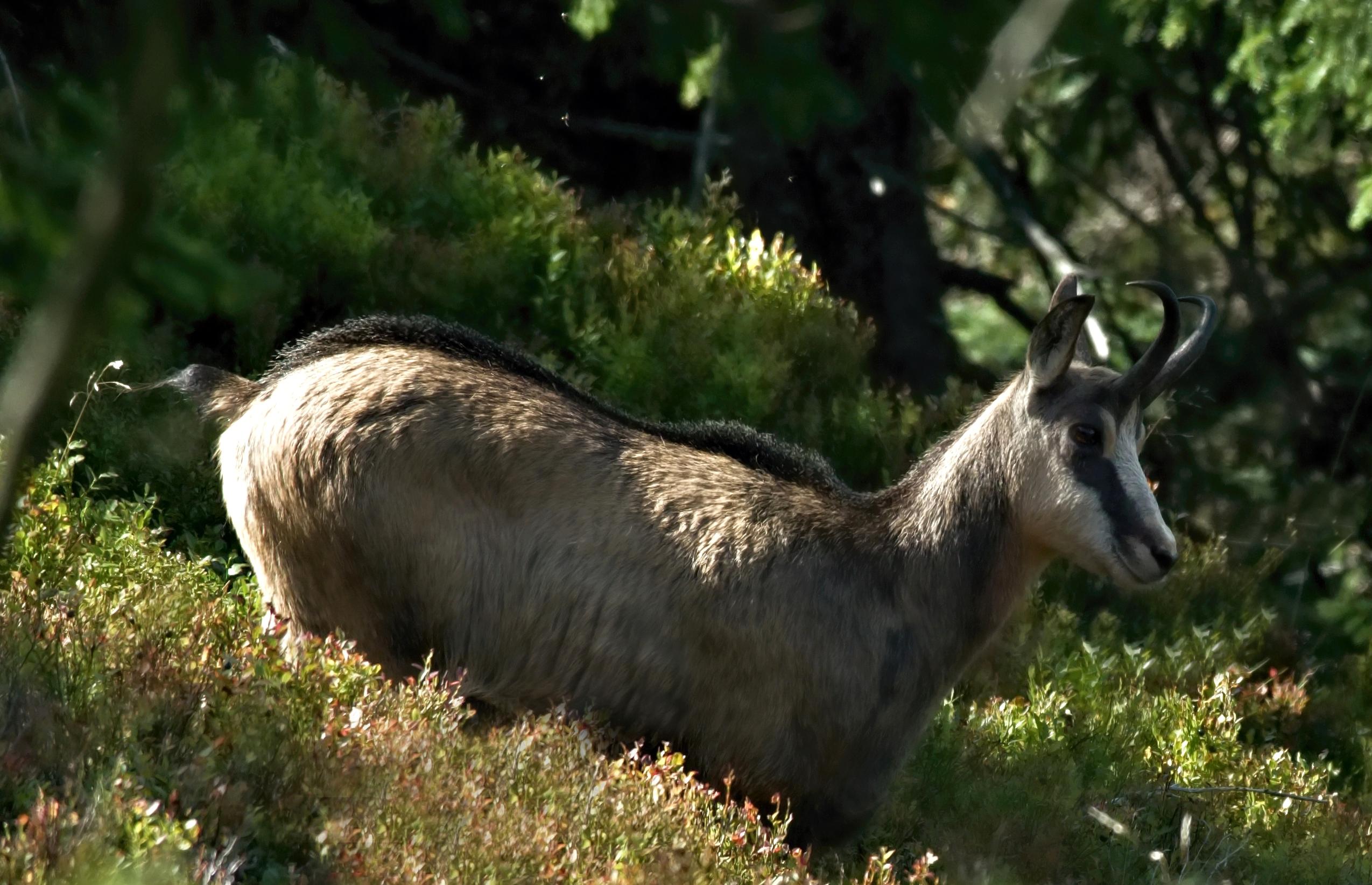 Kamzík horský (Rupicapra rupicapra)200913 3294a
