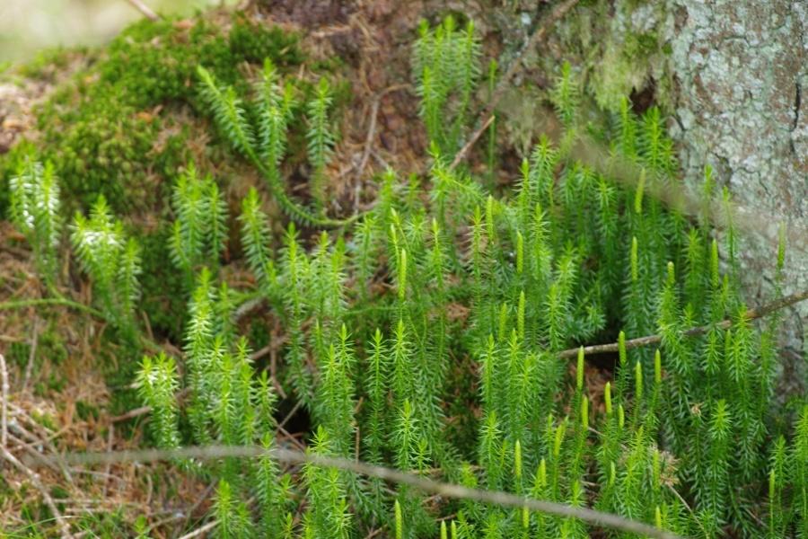 Plavuň vidlačka (Lycopodium clavatum)180704 4806